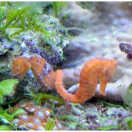 Hippocampes Reidi Sauvages 12-14 cm
