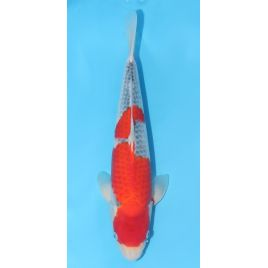 Koï Japon Goshiki Nisai 40 cm Kawakami