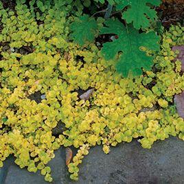 Lysimachia nummularia (jaune/geel)