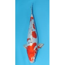 Koi Israel Yamatonishiki 43 cm