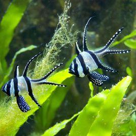 Pterapogon Kaudernis taille (1-2 cm) lot de 2