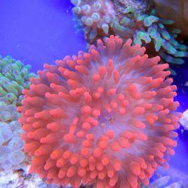 Entacmea quadricolor-anémone à tentacules rondes rouge