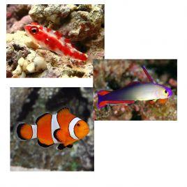 """Lot de poissons marins N°1 :""""Pour Nano-aquarium récifal de 60 litres"""""""