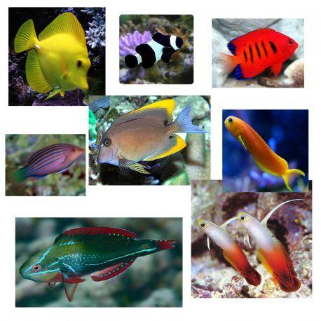 """Lot de poissons marins N°4 :""""Pour aquarium récifal de 450 litres."""