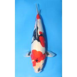 Koï Japon doitsu showa éleveur shinoda taille 45-50cm   : sansai