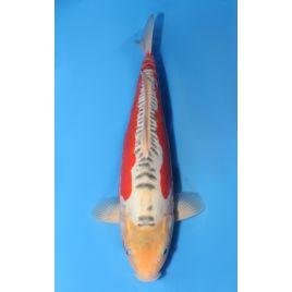 Koï Japon shusui éleveur maruhiro taille +-35cm : nisai