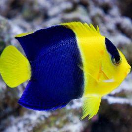 Centropyge Bicolor : 3 à 5 cm