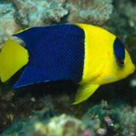 Centropyge Bicolor : 5 à 7 cm