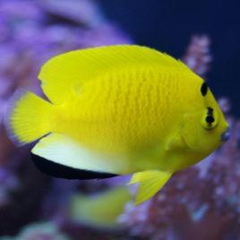 Apolemichthys trimaculatus : 8-11cm