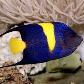 Arusetta Asfur  : 12 à 15 cm