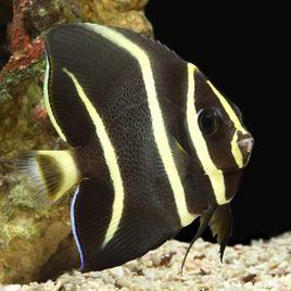 Pomacanthus arcuatus 7-10 cm