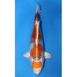 Koï Japon maruten kujaku éleveur shinoda nisai taille: 35-40cm