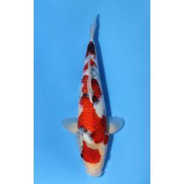 Koï Japon showa éleveur dainichi bloodline nisai taille: 30-35cm