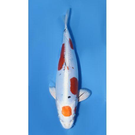Koï Japon yamatonishiki éleveur secret nisai taille: 30-35cm