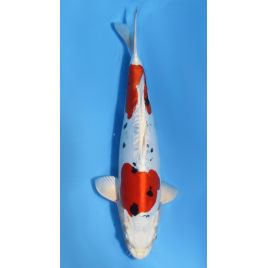 Koï Japon yamatonishiki éleveur secret nisai taille: 30-35cm