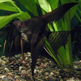 Pterophyllum Scalaire noirs voilés 4-5cm lot de 2