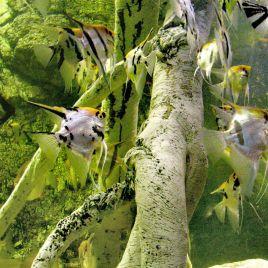 Pterophyllum Scalaires assortis lot de 10