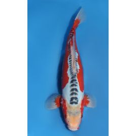 Koï Japon shusui éleveur yamaju nisai taille: +-40cm