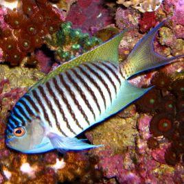 Genicanthus Melanospilos mâle : 10 à 15 cm