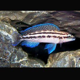 Julidochromis Dickfeldi 4-6cm