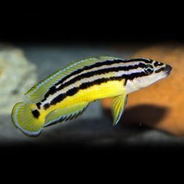 Julidochromis Ornatus 4-6cm
