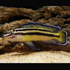 Julidochromis Regani 4-6cm