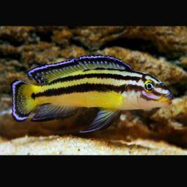 Julidochromis Regani Kippili 4-6cm