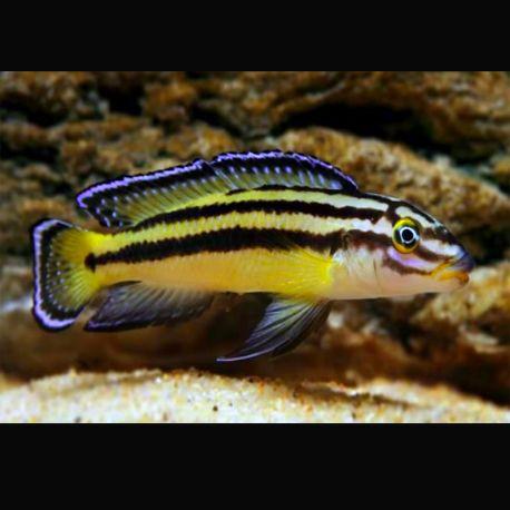 Julidochromis Regani Kippili M 4-6 Cm