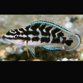 Julidochromis Transcriptus Gombi 4-6cm