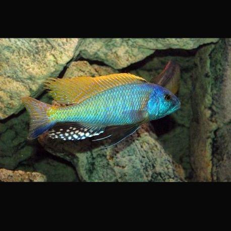 buccochromis rhoadesii Le Couple 10-12 Cm