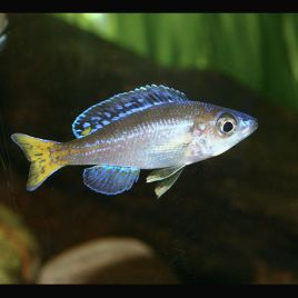 cyprichromis leptosoma mpulungu 7-8cm