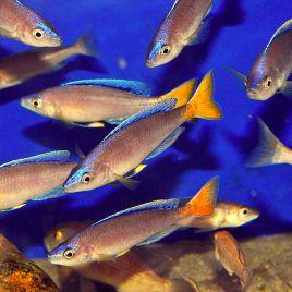 cyprichromis leptosoma mpulungu le couple 8-10cm