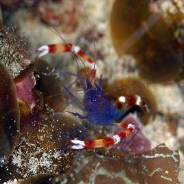 Stenopus tenuirostris 2-3 cm