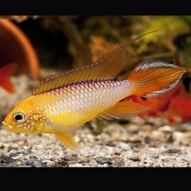 Apistogramma Agassizii Red/Gold 3-4cm
