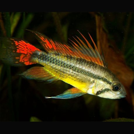 Apistogramma Cacatuoides double red 3-4 Cm