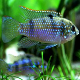 Pelmatochromis Thomasi lot de 2