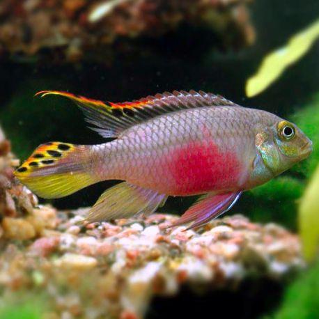 Pelvicachromis Kribensis lot de 2