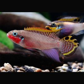 Pelvicachromis-Pelmatochromis Kribensis-Taeniatus 3-4cm