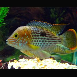 Cichlid s am ricains en vente poisson d 39 eau douce for Vente poisson aquarium particulier