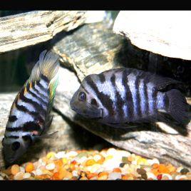 Cichlasoma Nigrofasciatum  6-7cm