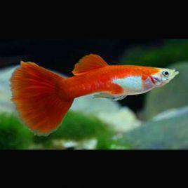Guppys mâles Red-Blond