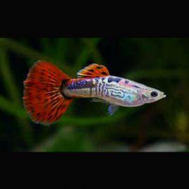 Guppys mâles Red-Snakeskin lot de 3