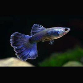 Guppys mâles(Poecilia reticulata) Blue-Moscow lot de 10