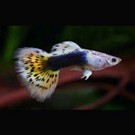 Guppys mâles(Poecilia reticulata) Yellow-Snake-Skin-Tuxedo lot de 10