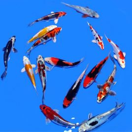 Koi Japon Mix Seiki SELECT 18-20 cm