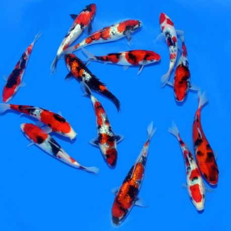 Koi Japon Showa / Ginrin Showa SELECT 18-20 cm
