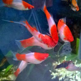 Xiphophorus helleri Koi Kohaku lot de 3