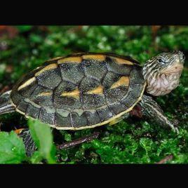 Mauremys(Ocadia) Sinensis 4-5 cm