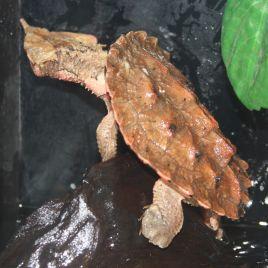 Chelus Fimbriatus(Mata Mata) 7-10 cm
