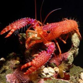 Enoplometopus daumi-homard violet 5-7 CM